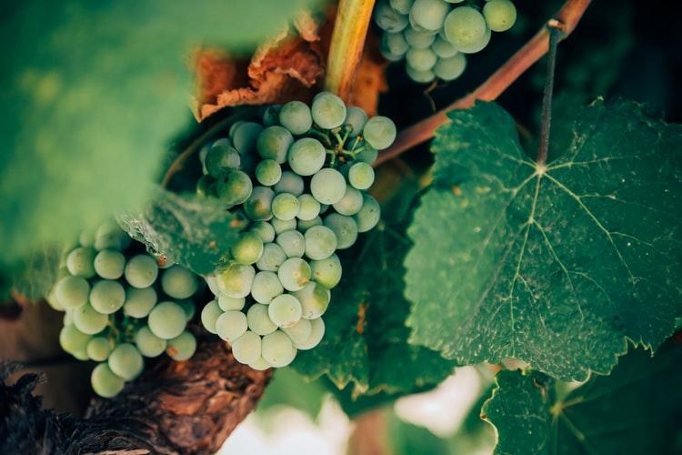 白ワイン用白ブドウ品種図鑑