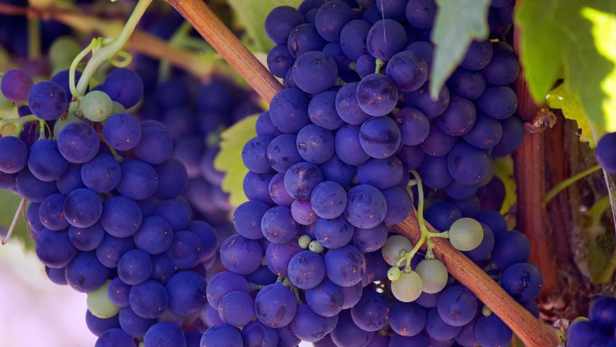 赤ワイン用黒ブドウ品種図鑑